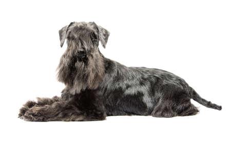 miniature breed: Schnauzer miniatura negro sobre fondo blanco isolatad