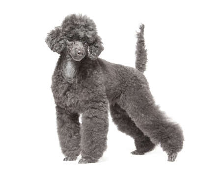 black toy poodle isolated over white background