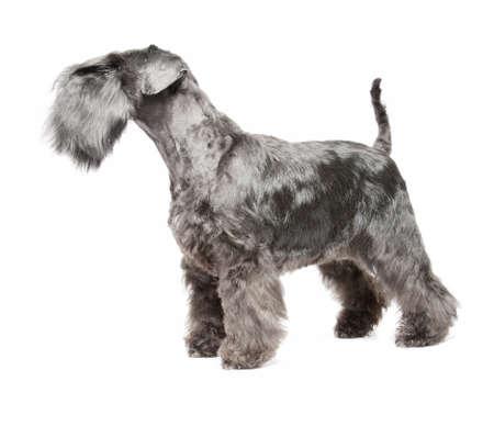 miniature breed: Miniature Schnauzer negro sobre fondo blanco isolatad Foto de archivo