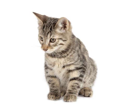 bobtail: Kurilian Bobtail kitten isolated over white background