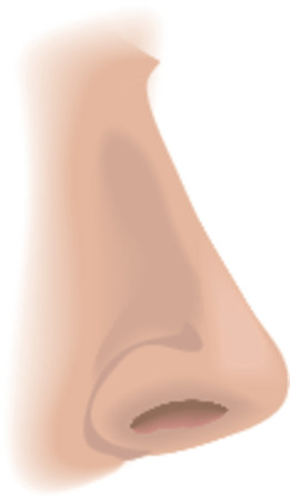 sense: Body parts nose. An illustration of a human nose, no meshes used