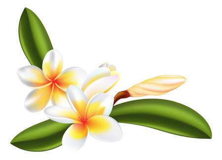 flor de durazno: Ilustración de Bellas flores frangipani o plumeria  Vectores
