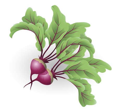beets: An illustration of two beetroot aka table beet, garden beet, red beet or beet Illustration