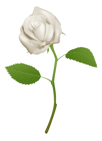róża: Ilustracja z piÄ™knej biaÅ'ej róży