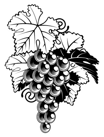 An illustration of a bunch of grapes on a grapevine in a  vintage woodcut print style Illustration