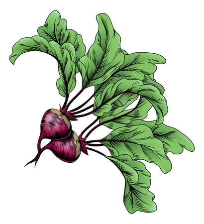 beetroot: A beets vintage woodcut illustration in a vintage style