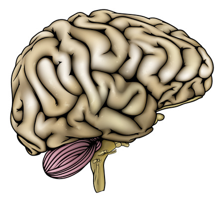 sectioned: An illustration of an anatomically correct human brain Illustration
