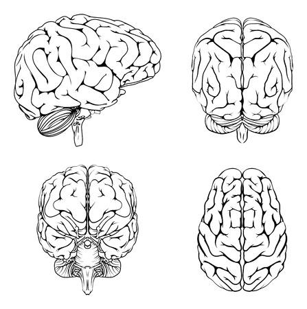 contorno: Un diagrama de un cerebro desde la parte frontal del lado superior y posterior en el contorno Vectores
