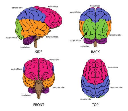 parts: Human brain from all sides with sections in different colors and text labels Illustration