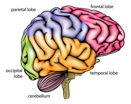 Brain anatomy diagram with sectioned in different colours and named Vector