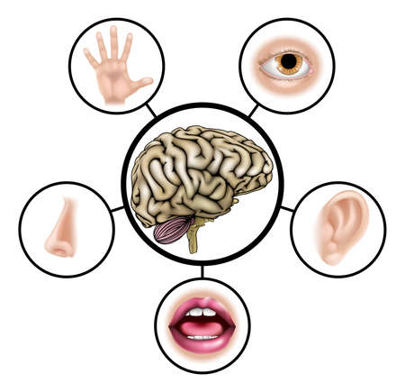 A science education illustration of icons representing the five senses attached to central brain Vector