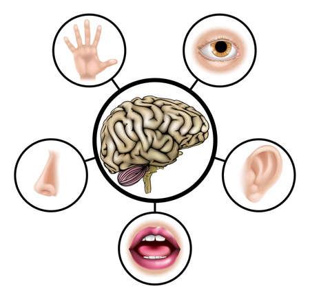 partes del cuerpo humano: Una ilustración enseñanza de las ciencias de iconos que representan los cinco sentidos unido al cerebro central Vectores