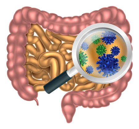 intestinal flora: Magnifying glass focused on the human digestive system, digestive tract or alimentary canal showing bacteria or virus cells. Could be good bacteria or gut flora such as that encouraged by pro biotic products and foods