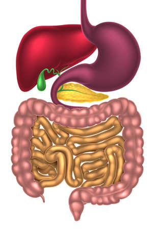 large intestine: Human digestive system, digestive tract or alimentary canal Illustration