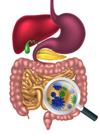 gut: Magnifying glass showing bacteria or virus cells in the human digestive system, digestive tract or alimentary canal. Possibly good bacteria or gut flora such as that encouraged by pro biotic products