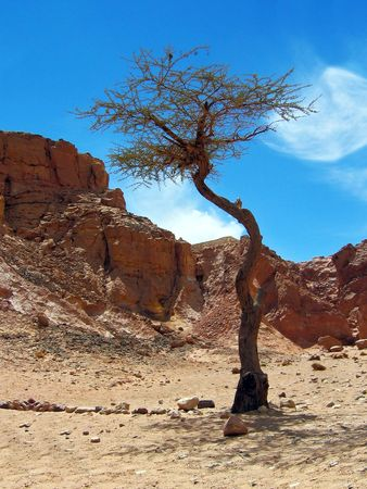 miracle leaf: The tree grows on a settlement Bedouins directly from sand.
