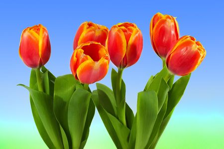 Lovely tulips. photo