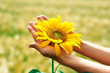 Sunflower in woman palms Stock Photo