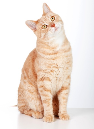 ginger hair: Red tabby cat isolated on white background.