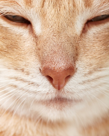 domestic: Red tabby cat close up. Ginger domestic kitten. Stock Photo