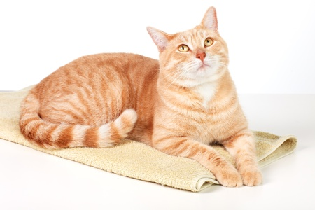 Ginger tabby cat isolated on white background.