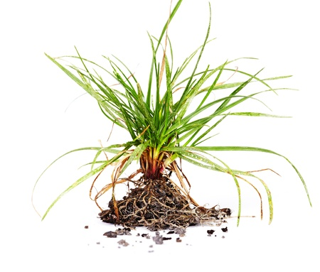 grass roots: Green grass with roots. Growth concept background. Stock Photo