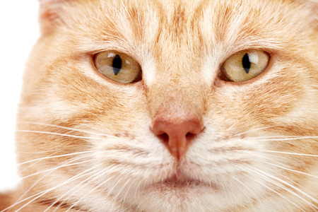 Red tabby cat close up. Ginger domestic kitten. photo