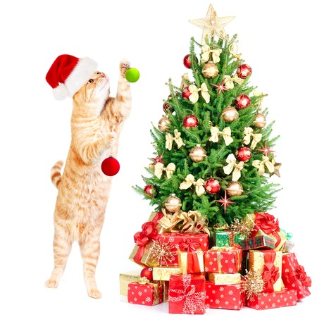 Ginger santa cat and Christmas tree isolated white background. photo