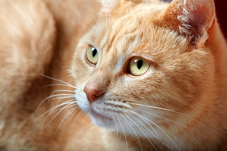 domestic: Ginger domestic cat portrait. Animal at home.