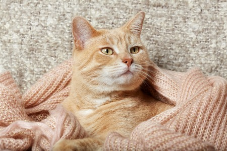 domestic: Ginger domestic cat