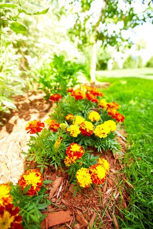 garth: Flowers marigold in the garden.