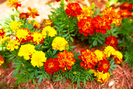flower bed: Flowers marigold in the garden.
