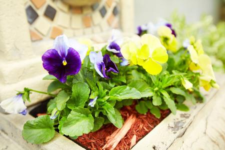 summer garden: Flowers viola in the garden. Stock Photo