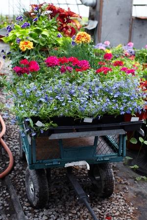 begonia: Flowers.