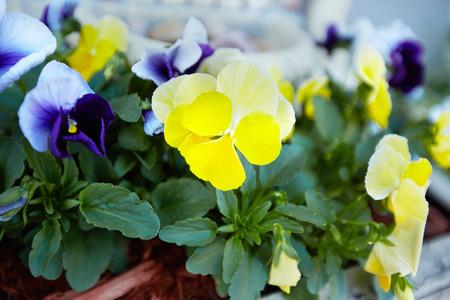 garth: Flowers viola in the garden. Stock Photo