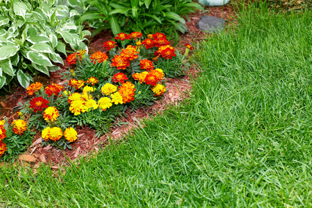 garden marigold: Flowers marigold in the garden.