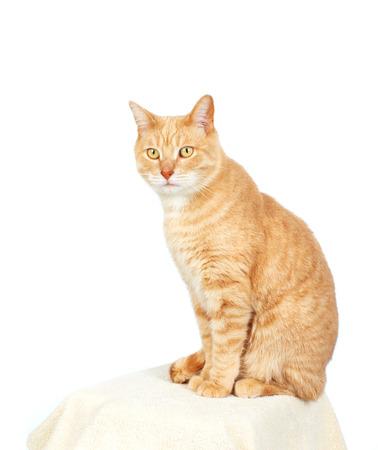 pussy yellow: Domestic cat. Stock Photo