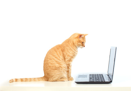 housecat: Domestic cat with laptop computer.