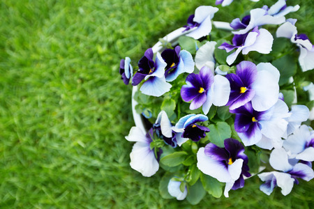 Flowers viola in the garden. Stock Photo
