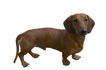 isolated dachshund on the white background