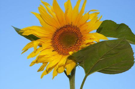 sunflowerseed: the sunflower