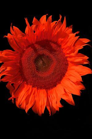 sunflowerseed: red sunflower Stock Photo