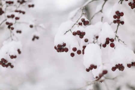 winterberry: red winter berries and snow