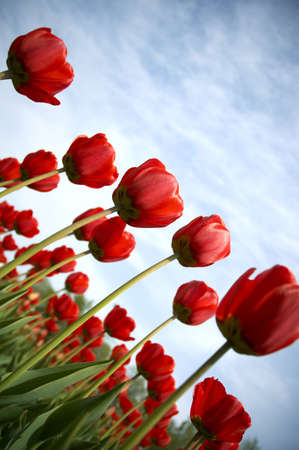 vignetting: tulips (special photo fx with dark vignetting ,focus on the center of the photo) Stock Photo