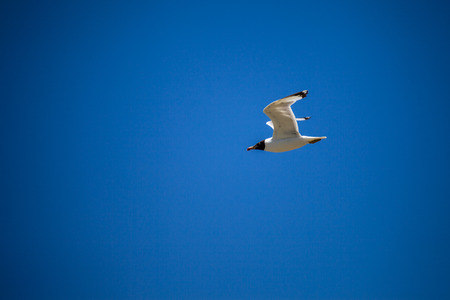 glide: seagull flying in the sky