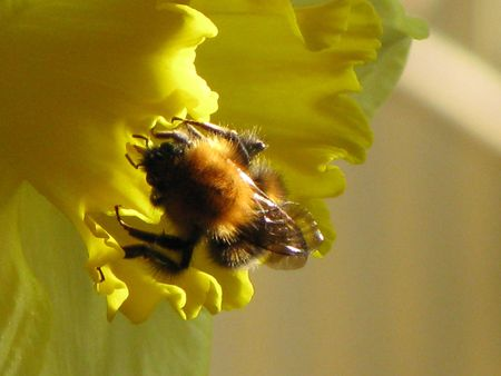 Closeup of a bumble bee and a daffodil photo