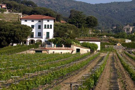oenology: Vineyard in Alella, Catalonia, Spain