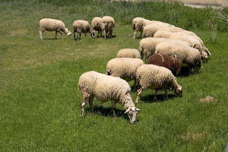 drove: Sheep, drove