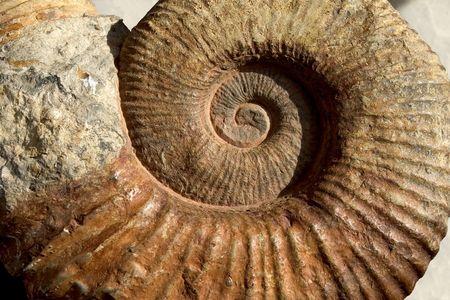 fossilized: Jurassic-age ammonite ( Dactylioceras sp. )