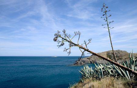 Agave americana in Cap de Creus (The most eastern point of the Iberian Peninsula), Costa Brava, Catalonia, Spain. photo